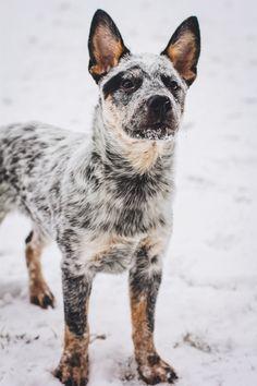Rosie cattle dog