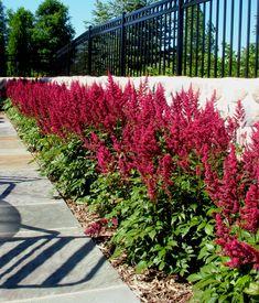 Astilbe - a low maintenance shrub