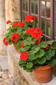 red geraniums in terra cotta pots!love red geraniums in terra cotta pots! Love Flowers, Beautiful Flowers, Mosses Basket, Red Geraniums, Geraniums Garden, Potted Geraniums, Propagating Geraniums, Potted Plants, Pot Jardin