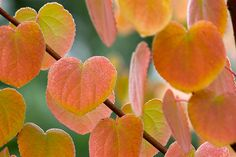 Autumn colour: katsura tree (Cercidiphyllum japonicum). A large, deciduous tree with caramel scented leaves turning yellow, orange and pink in autumn. Read more about the katsura tree on our website http://www.gardenersworld.com/plants/cercidiphyllum-japonicum/1267.html
