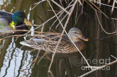 #Mallard #Duck Follow The Leader Into The #Reeds, #Nature #Fine #Art #Photograph #Print  My photographs have been featured in over 40 Fine Art America groups   MORE OF MY PHOTOGRAPHS CAN BE SEEN AND PURCHASED ON MY WEBSITE: jerry-cowart.artistwebsites.coWebsite  Email: jcdeziner@aol.com   http://fineartamerica.com/featured/mallard-duck-follow-the-leader-into-the-reeds-nature-fine-art-photograph-print-jerry-cowart.html