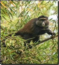 East Africa Monkey