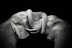 Do you know that elephants use their trunks to touch, embrace, and express themselves like we do with our hands?