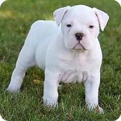 Winchester, CA - English Bulldog. Meet Olive, a puppy for adoption. http://www.adoptapet.com/pet/13304159-winchester-california-english-bulldog