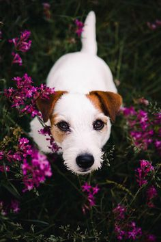 Pretty puppy in a field of flowers. White jack russel terrier doggo with pink fl… Pretty puppy in a field of flowers. White jack russel terrier doggo with pink flowers. Dog photography, hiking and adventuring with dog. Chien Jack Russel, Jack Russell Puppies, Jack Russell Terriers, Terrier Puppies, Pitbull Terrier, Dogs And Puppies, Chihuahua Dogs, Baby Dogs, Terrier Mix