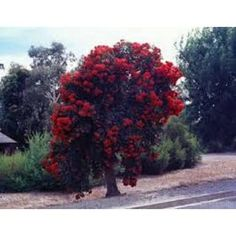 Image result for Grafted gum trees