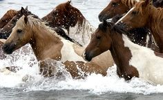 Chincoteague Ponies- the Annual pony swim! I would love to see this one year and own a Chincoteague Pony one day! These horses are beautiful All The Pretty Horses, Beautiful Horses, Chincoteague Ponies, Chincoteague Island, Chincoteague Virginia, Island Horse, Wild Mustangs, Just Dream, Horse Love