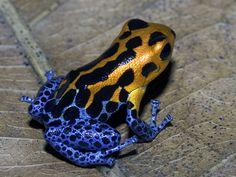 "Ranitomeya imitator ""Varadero"" - Anita Smith Home Les Reptiles, Reptiles And Amphibians, Mammals, Beautiful Creatures, Animals Beautiful, Animals And Pets, Cute Animals, Baby Animals, Amazing Frog"