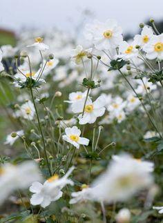 Anemone hybrida 'Honorine Jobert' (Japanse anemoon), prachtige half gevulde bloemen met gele meeldraden, prachtige herfstbloeier, mooi in grote groep, mooi bij siergrassen, hebben tijd nodig om zich te vestigen