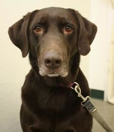 Pictures of Shae a Labrador Retriever for adoption in Menominee, MI who needs a loving home.
