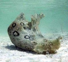 Spotted sea hare....I want one for a pet....