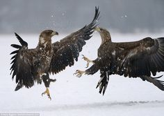 The epic battle was photographed by Mr Eggens, who is a fitness instructor from Holland, in a snowy wilderness in Kutno, Poland
