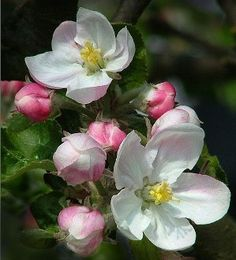 kw Apple Tree Blossoms, Apple Blossom Flower, Apple Flowers, Peach Flowers, Spring Flowers, Fruit Picture, Blooming Trees, Spring Has Sprung, Beautiful Flowers