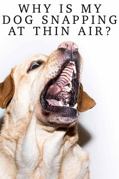 Air snapping or fly-biting as it's also known, is not uncommon in dogs. Positive Dog Training, Training Your Puppy, Fun Facts About Dogs, Puppy Facts, Tiny Puppies, Free Dogs, Labradors, Dog Quotes, Dog Behavior