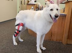 ACL Dog Brace | Dog Cruciate Brace | Dog Knee Braces | Dog Knee Support | MyPetsBrace.com