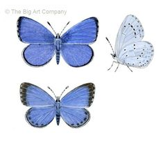 Illustration of Holly blue butterfly (Celastrina argiolus), Lycaenidae (Wildlife Art Company) Canvas Print | Framed Art | Poster Print