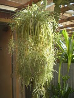 Houseplants That Filter the Air We Breathe Plants Are The Strangest People: Single Mother Chlorophytum Comosum