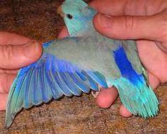 99 Best Parrotlet Images In 2019 Parakeets Beautiful Birds