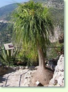 Elefantenfuß Giftig liquidambar styraciflua worplesdon amberbaum hochstamm spalier