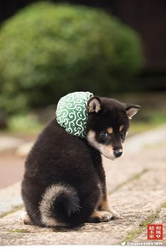 Cute Dogs Breeds, Cute Dogs And Puppies, Baby Puppies, I Love Dogs, Chien Shiba Inu, Shiba Puppy, Hachiko, Japanese Dogs, Golden Retriever