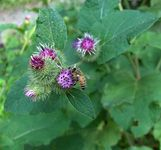 The Healing Power of Herbs | Sharing with you the Power of Herbs-- Benefits of Burdock