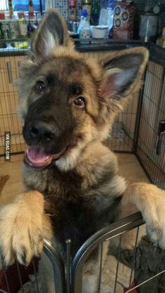 Did someone say scary German Shepherd?