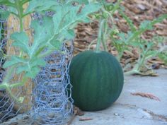 How To Water Watermelon Plants And When To Water Watermelons - Watermelons are a summer favorite but sometimes gardeners find that these juicy melons can be a little tricky to grow. In particular, knowing how and when to water them. The advice in this article should help with that.