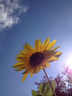 Sunflower looking at  the cloud