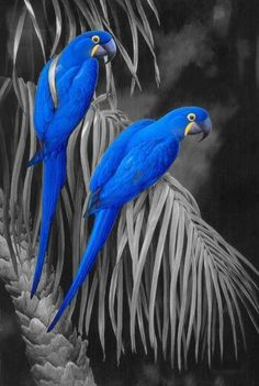 blue parrots,,,color splash,,,