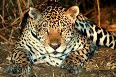 Onça-pintada - Jaguar - Na Fazenda San Francisco - Pantanal do Miranda MS