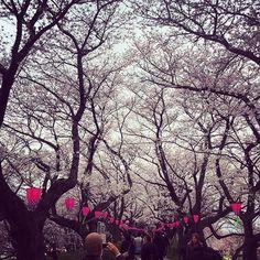 桜の天井/kr_satoshi/2016/04/02 13:28:53