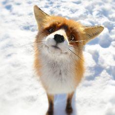 Fox Closeup In Snow Field #iPad #Wallpaper
