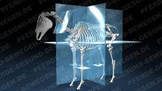 Die Median-Ebenen - des Pferdeskeletts  http://shop.pferde-gesund-bewegen.de/produkt/pferdeanatomie-teil-1-das-skelett-des-pferdes-onlinekurs-preview-version/
