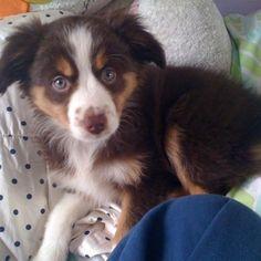 My mini Aussie puppy-Buffy