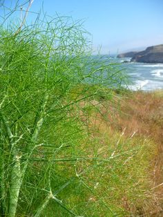 Wild fennel is particular fond of coastal climates. In Northern Cali we gots lots'o'fennel growing. Its delish in salad or juiced in juices.