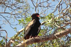 Adding to the rich biodiversity of mammal life, the Kruger National Park is a paradise for birders, though none of the species are endemic to the area. Kruger National Park, National Parks, Button Quail, Private Games, Game Reserve, African Safari, Bird Species, Bald Eagle, Mammals