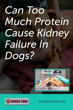 Some dog owners think that too much protein can cause kidney failure in dogs. So they restrict the amount of dog protein in their pet's diet for fear that it may affect their health. So is this something to worry about or is it just a myth? Find out more. Dog Nutrition, Dog Diet, Kidney Failure, Medical Problems, Dog Care Tips, Homemade Dog Food, Nutritious Meals, No Cook Meals, Dog Owners