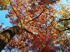 """Taken 3 weeks ago, in W. NC mountains, on a glorious blue sky fall day.  Now I'm back in S. FL- and the leaves are off this tree.    Taken 10/16/11, Uploaded 11/09/11, 2011 10 16_zR72 Softlight49pctTASpic26pct WNC FAll_7006  If  you wish, view """"my  own favorites"""" of my photostream   Or view all of my Photostream, sorted by Interestingness: <a href=""""http://fiveprime.org/flickr_hvmnd.cgi?search_domain=User&textinput=louise+lindsay&search_type=Search+User&photo_number=50&photo_&q..."""