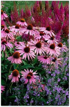 Purple coneflower Echinecia