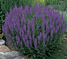 Salvia May Night - deadhead flowers & it will bloom all summer long. Drought tolerant once established. Full sun, well-drained soil. Cut & dry flowers for arrangements, pot pouries & cooking. Deer resistant; attracts butterflies, hummingbirds & bees. zone 3 - 9