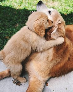 "Find out more relevant information on ""golden retriever puppies"". Super Cute Puppies, Baby Animals Super Cute, Cute Baby Dogs, Cute Little Puppies, Cute Dogs And Puppies, Cute Little Animals, Cute Funny Animals, Doggies, Labrador Puppies"