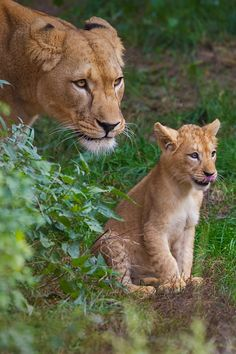 """The Swahili word for lion, simba, also means """"king,"""" """"strong,"""" and """"aggressive."""""""