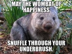 It is Wombat Day. Here is all the wombat trivia you could ever need. Baby Wombat, Cute Wombat, Baby Sloth, Baby Animals, Funny Animals, Cute Animals, Small Animals, Common Wombat, Quokka