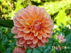 Showcase Decadent - Dahlia Barn