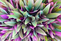 light coloured foliage plant - Google Search