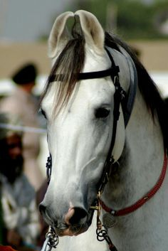 73 Best Indias Marwari Horse Images Pretty Horses Marwari Horses