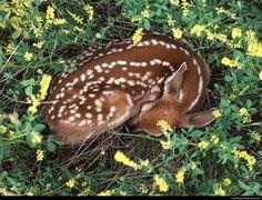 Sleeping deer