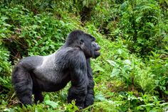 Silverback Gorilla Trekking in Rwanda - How I almost became his lunch...