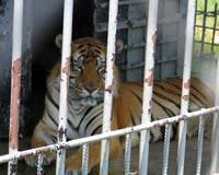 Tony The Tiger One Step Closer To Freedom | North Country Gazette