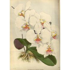 Phalenopsis Amabilis Dayana Orchid